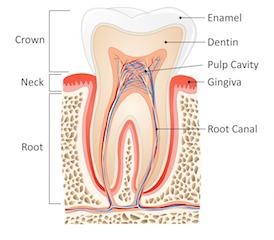 model of inner tooth I root canal therapy at moline il